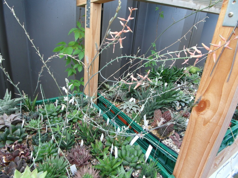 Cacti and Sukkulent in Köln, every day new flowers in the greenhouse Part 82 Bild1938