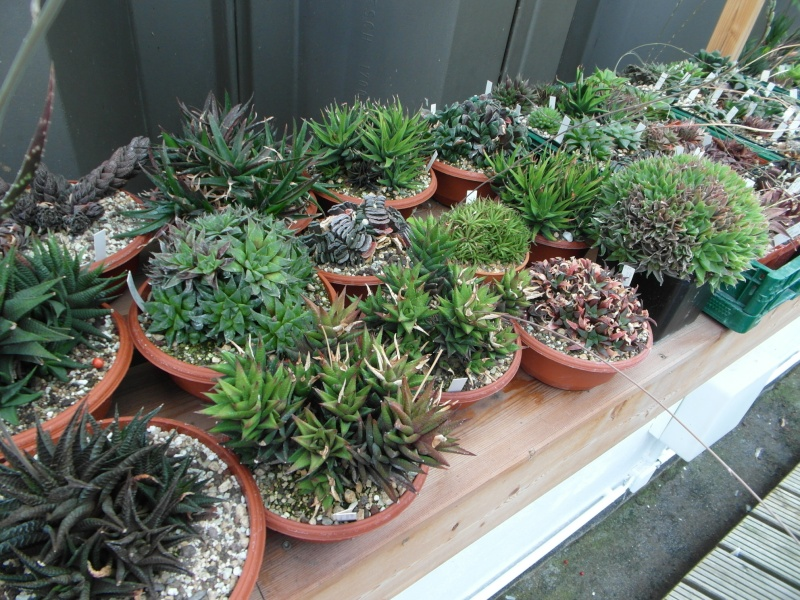 Cacti and Sukkulent in Köln, every day new flowers in the greenhouse Part 82 Bild1939