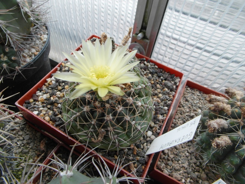 Cacti and Sukkulent in Köln, every day new flowers in the greenhouse Part 82 Bild1940