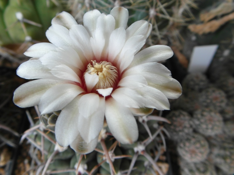 Cacti and Sukkulent in Köln, every day new flowers in the greenhouse Part 82 Bild1942
