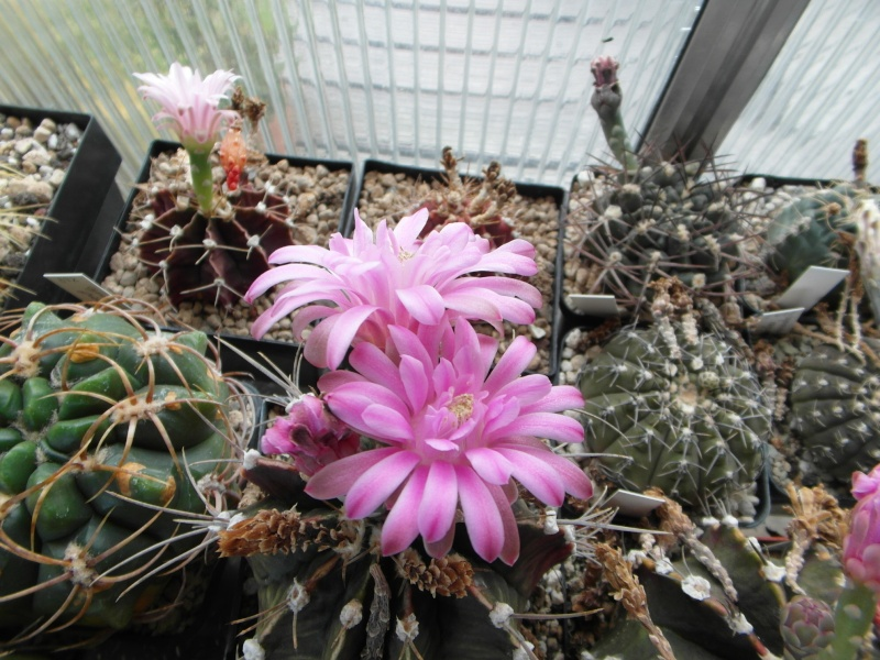 Cacti and Sukkulent in Köln, every day new flowers in the greenhouse Part 82 Bild1944