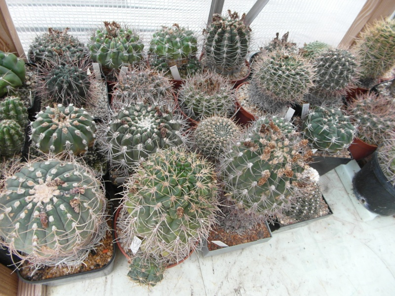 Cacti and Sukkulent in Köln, every day new flowers in the greenhouse Part 82 Bild1945