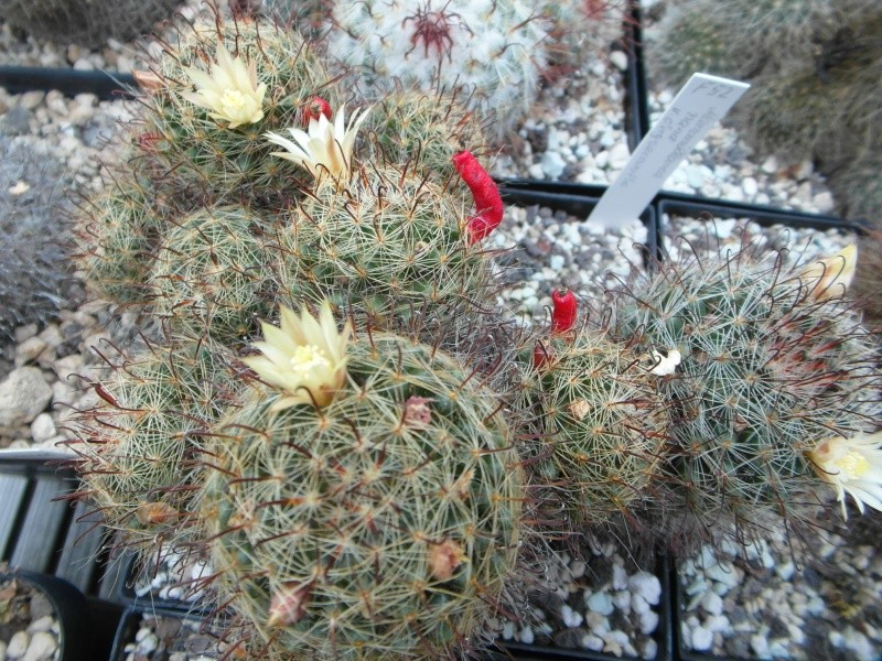 Cacti and Sukkulent in Köln, every day new flowers in the greenhouse Part 82 Bild1951