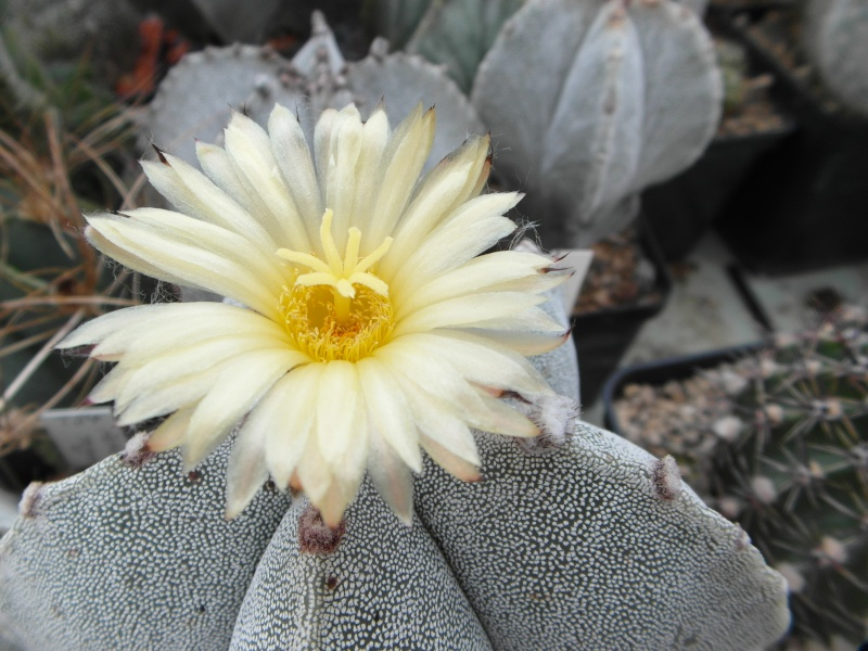 Cacti and Sukkulent in Köln, every day new flowers in the greenhouse Part 82 Bild1955