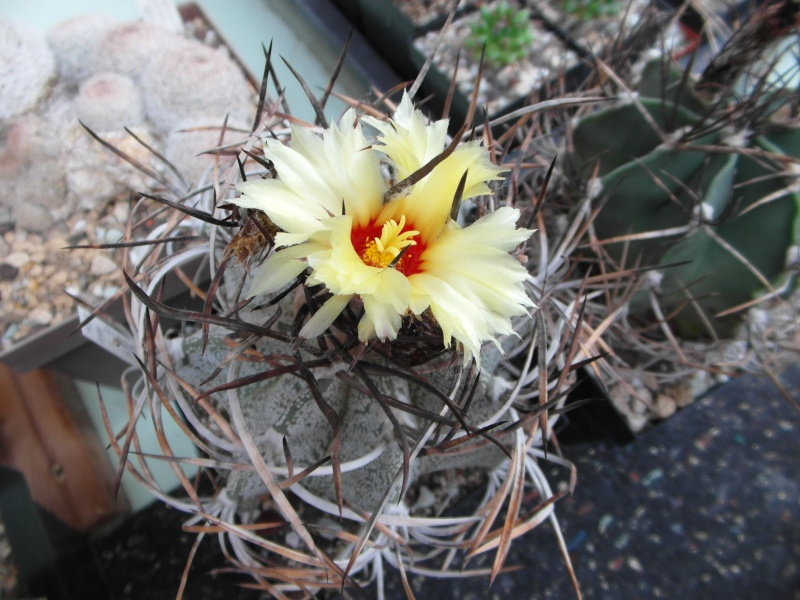 Cacti and Sukkulent in Köln, every day new flowers in the greenhouse Part 82 Bild1956