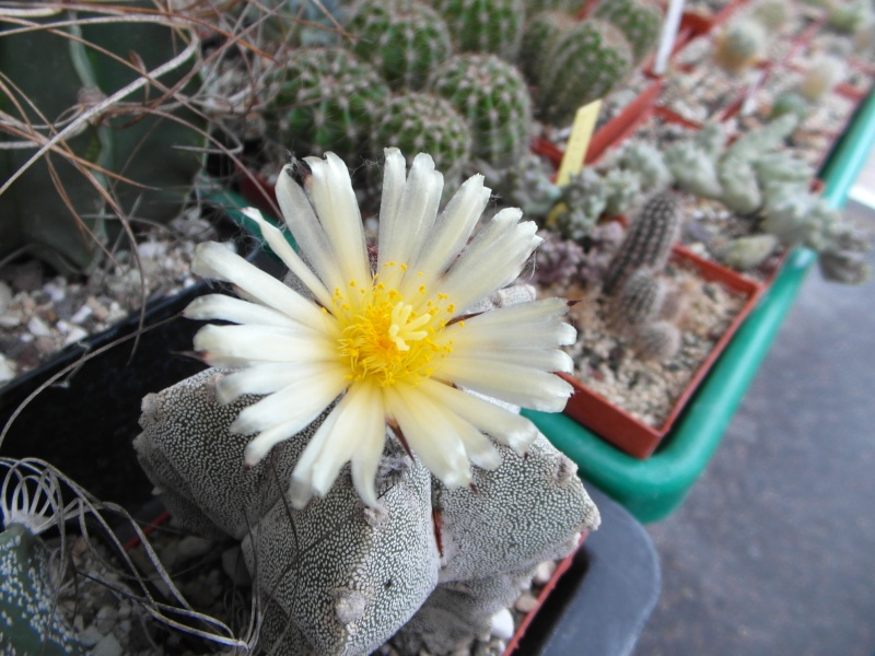 Cacti and Sukkulent in Köln, every day new flowers in the greenhouse Part 82 Bild1957