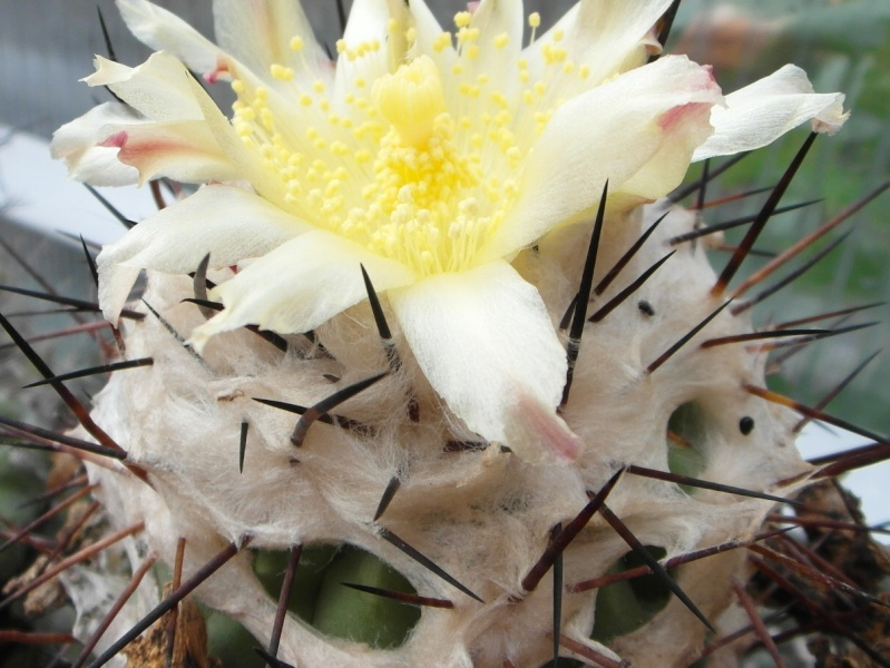 Cacti and Sukkulent in Köln, every day new flowers in the greenhouse Part 83 Bild1958