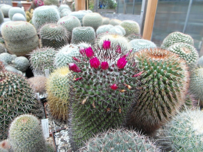 Cacti and Sukkulent in Köln, every day new flowers in the greenhouse Part 83 Bild1965