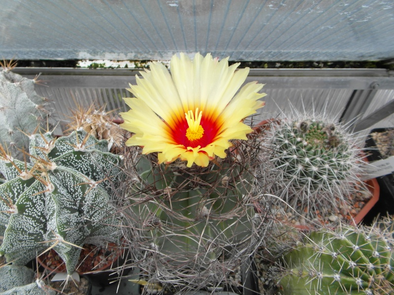 Cacti and Sukkulent in Köln, every day new flowers in the greenhouse Part 83 Bild1966