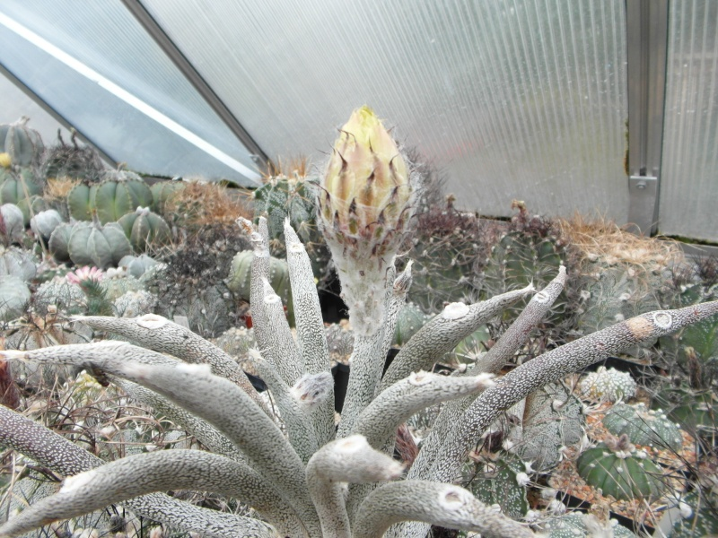Cacti and Sukkulent in Köln, every day new flowers in the greenhouse Part 83 Bild1967