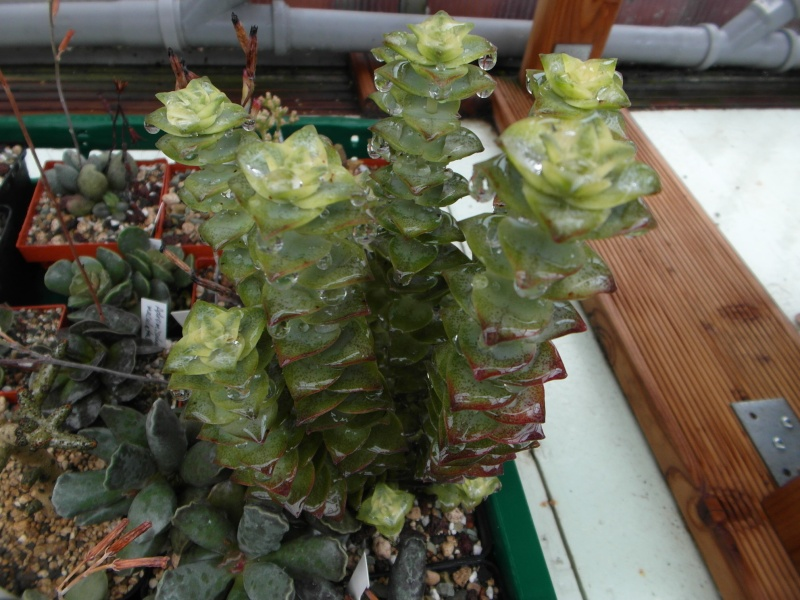 Cacti and Sukkulent in Köln, every day new flowers in the greenhouse Part 83 Bild2014