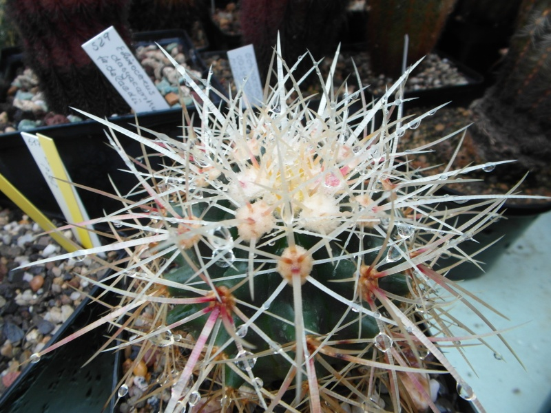 Cacti and Sukkulent in Köln, every day new flowers in the greenhouse Part 83 Bild2015