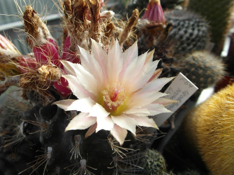 Cacti and Sukkulent in Köln, every day new flowers in the greenhouse Part 83 Bild2018