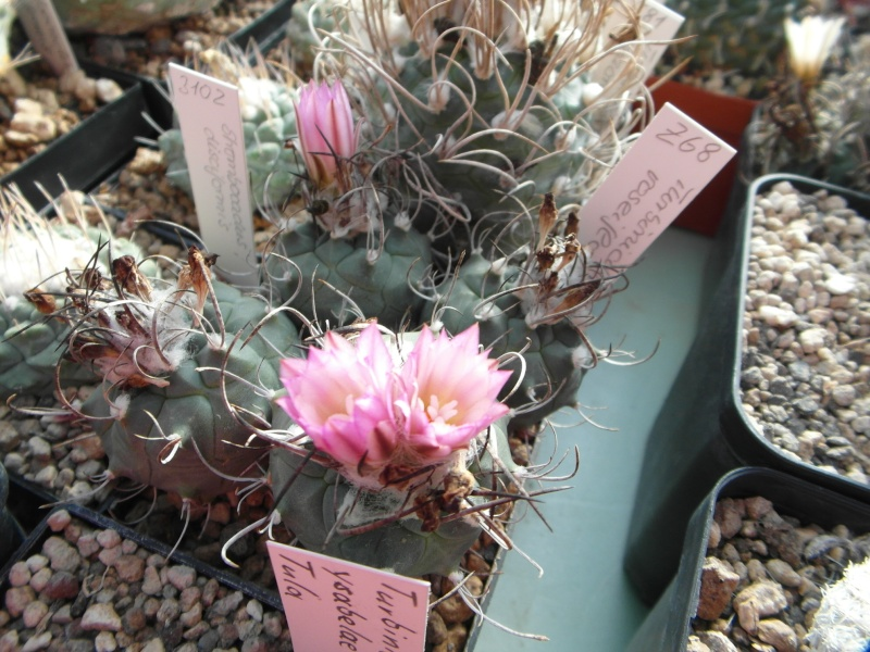Cacti and Sukkulent in Köln, every day new flowers in the greenhouse Part 83 Bild2031