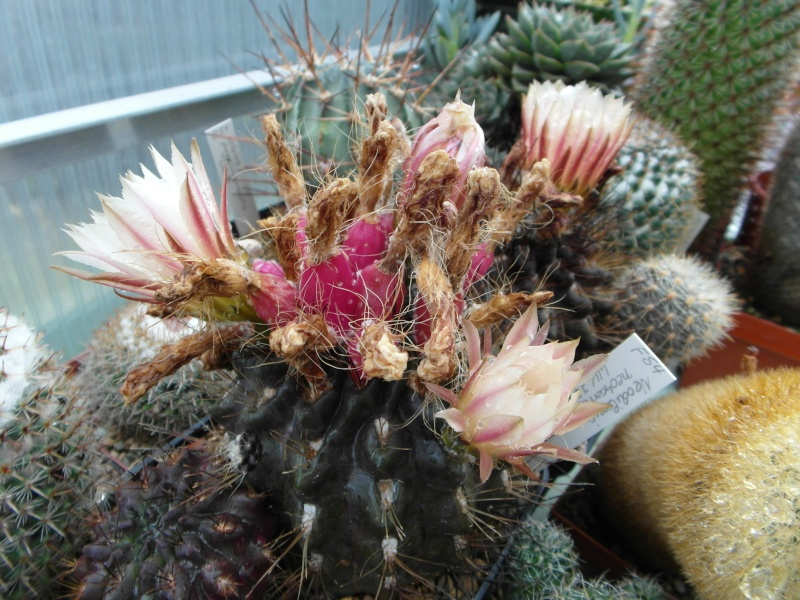 Cacti and Sukkulent in Köln, every day new flowers in the greenhouse Part 83 Bild2037