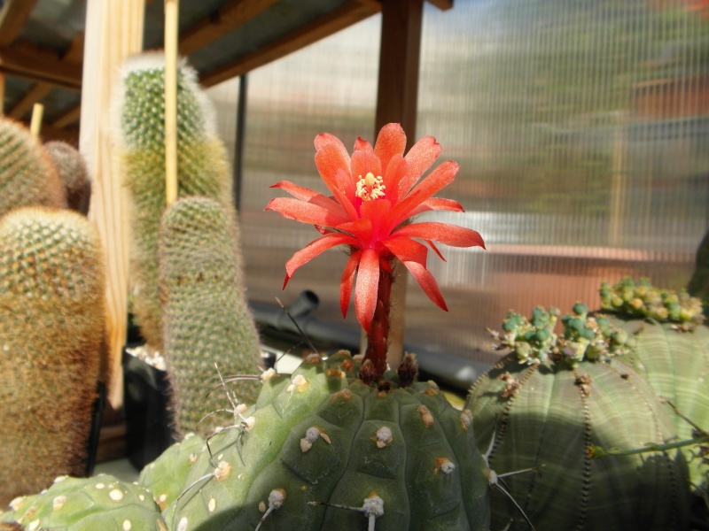 Cacti and Sukkulent in Köln, every day new flowers in the greenhouse Part 84 Bild2056