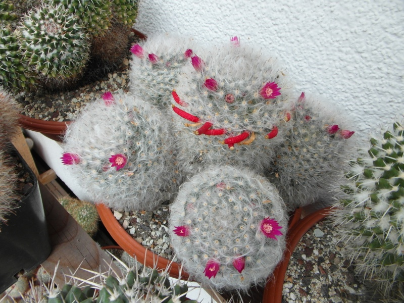 Cacti and Sukkulent in Köln, every day new flowers in the greenhouse Part 84 Bild2073