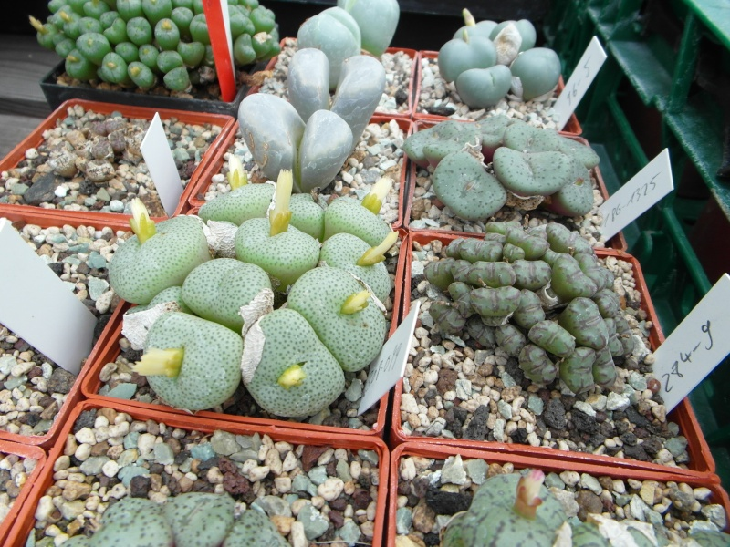 Cacti and Sukkulent in Köln, every day new flowers in the greenhouse Part 84 Bild2107