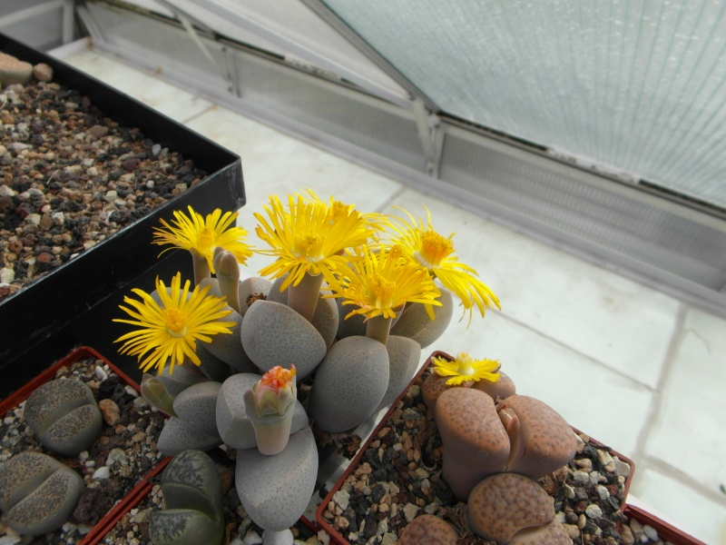 Cacti and Sukkulent in Köln, every day new flowers in the greenhouse Part 85 Bild2123