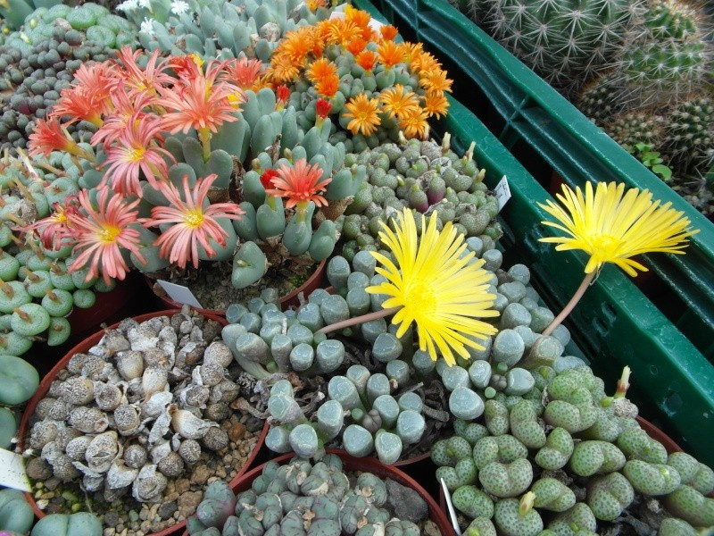Cacti and Sukkulent in Köln, every day new flowers in the greenhouse Part 85 Bild2126
