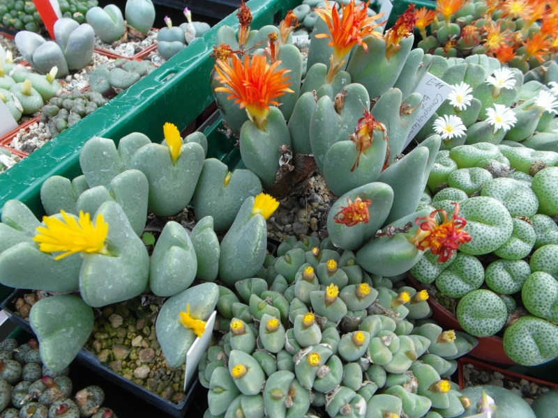Cacti and Sukkulent in Köln, every day new flowers in the greenhouse Part 85 Bild2127