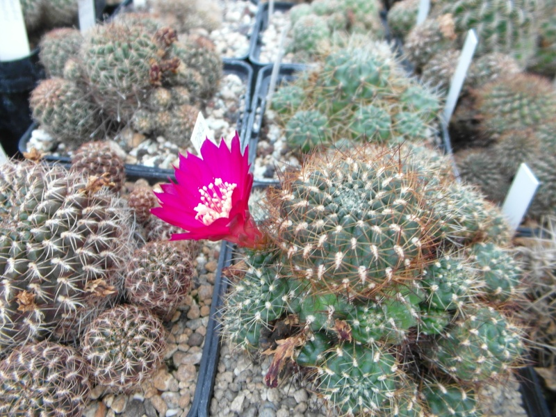 Cacti and Sukkulent in Köln, every day new flowers in the greenhouse Part 85 Bild2133