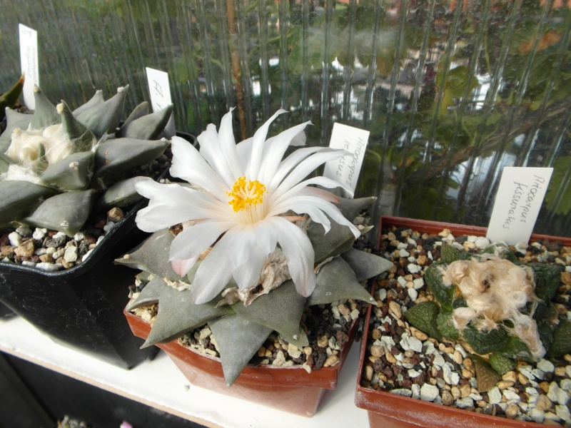 Cacti and Sukkulent in Köln, every day new flowers in the greenhouse Part 85 Bild2144
