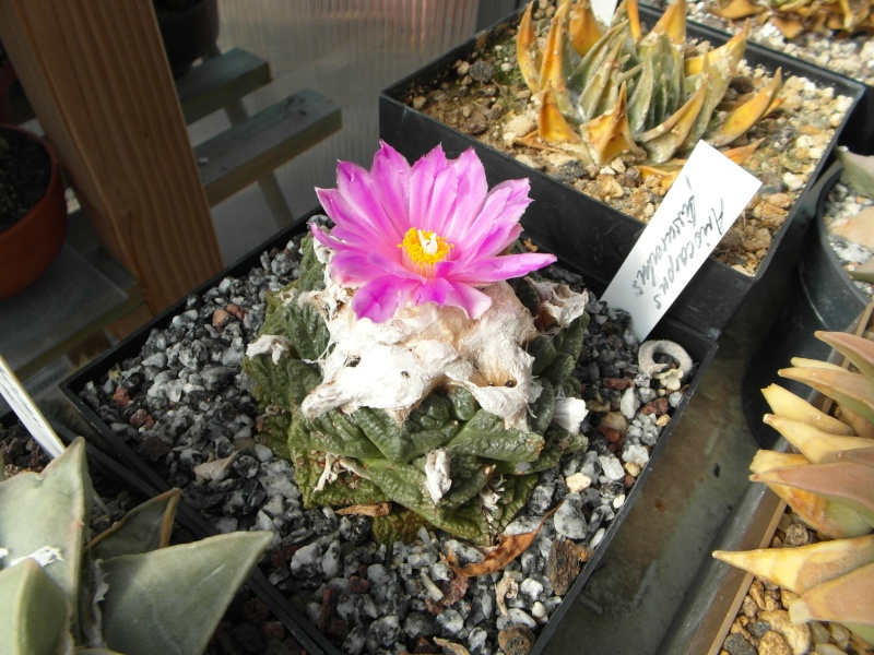 Cacti and Sukkulent in Köln, every day new flowers in the greenhouse Part 85 Bild2146