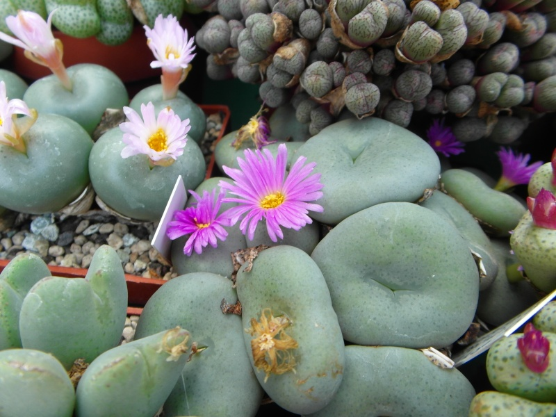 Cacti and Sukkulent in Köln, every day new flowers in the greenhouse Part 85 Bild2166