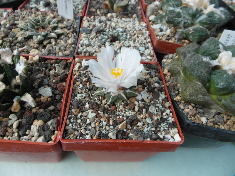 Cacti and Sukkulent in Köln, every day new flowers in the greenhouse Part 85 Bild2171