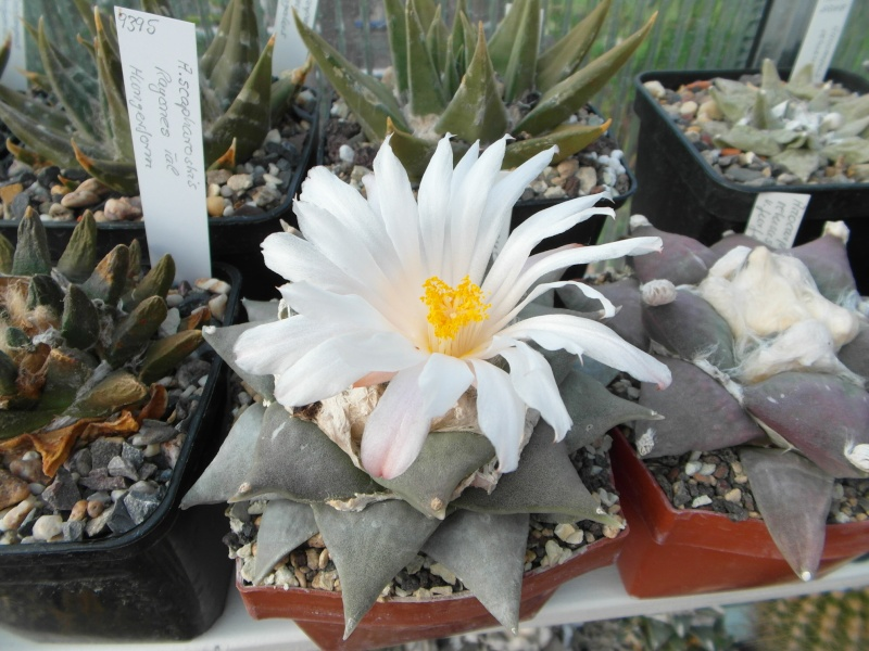 Cacti and Sukkulent in Köln, every day new flowers in the greenhouse Part 85 Bild2172