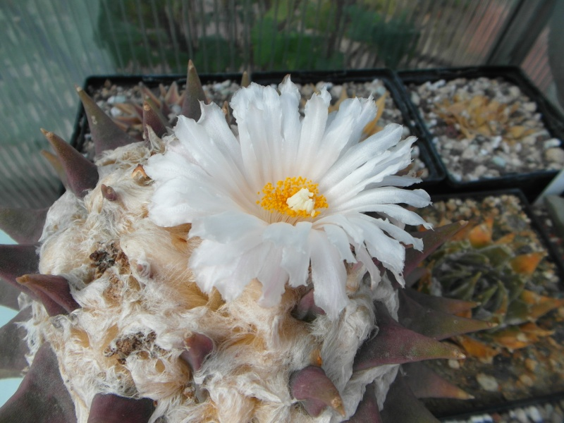 Cacti and Sukkulent in Köln, every day new flowers in the greenhouse Part 85 Bild2174