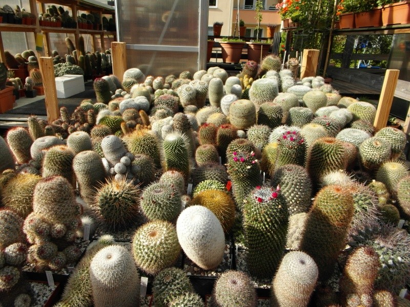 Cacti and Sukkulent in Köln, every day new flowers in the greenhouse Part 85 Bild2190