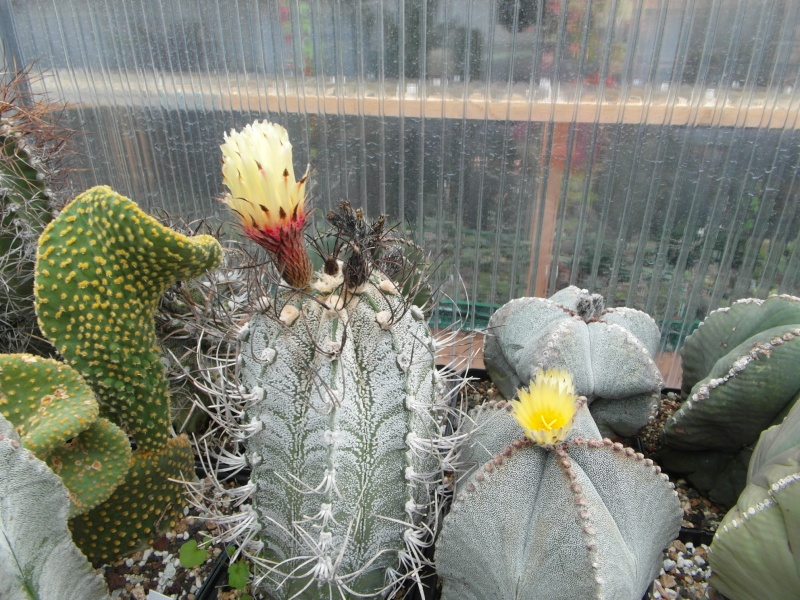 Cacti and Sukkulent in Köln, every day new flowers in the greenhouse Part 85 Bild2202