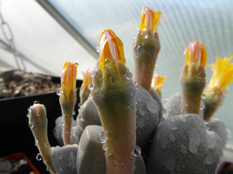 Cacti and Sukkulent in Köln, every day new flowers in the greenhouse Part 86 Bild2206
