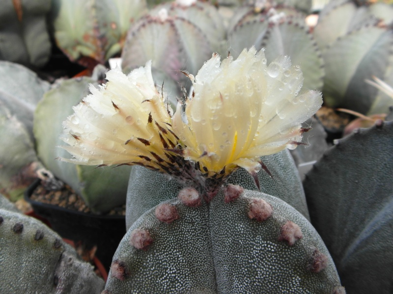 Cacti and Sukkulent in Köln, every day new flowers in the greenhouse Part 86 Bild2211