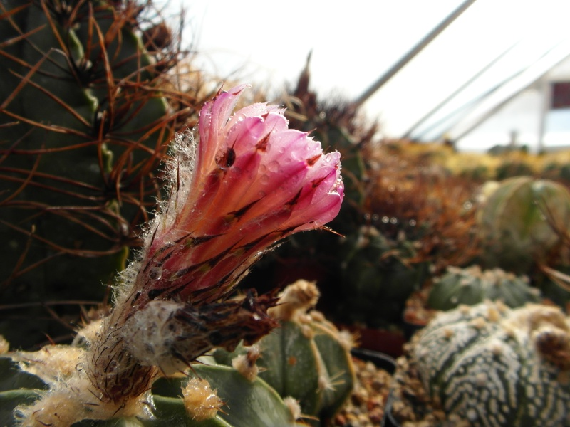 Cacti and Sukkulent in Köln, every day new flowers in the greenhouse Part 86 Bild2213