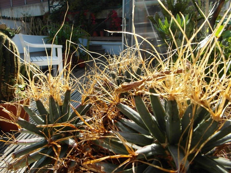 Cacti and Sukkulent in Köln, every day new flowers in the greenhouse Part 86 Bild2221