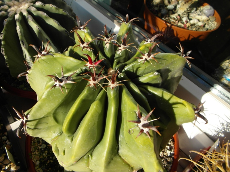 Cacti and Sukkulent in Köln, every day new flowers in the greenhouse Part 86 Bild2235