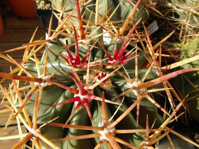 Cacti and Sukkulent in Köln, every day new flowers in the greenhouse Part 86 Bild2236