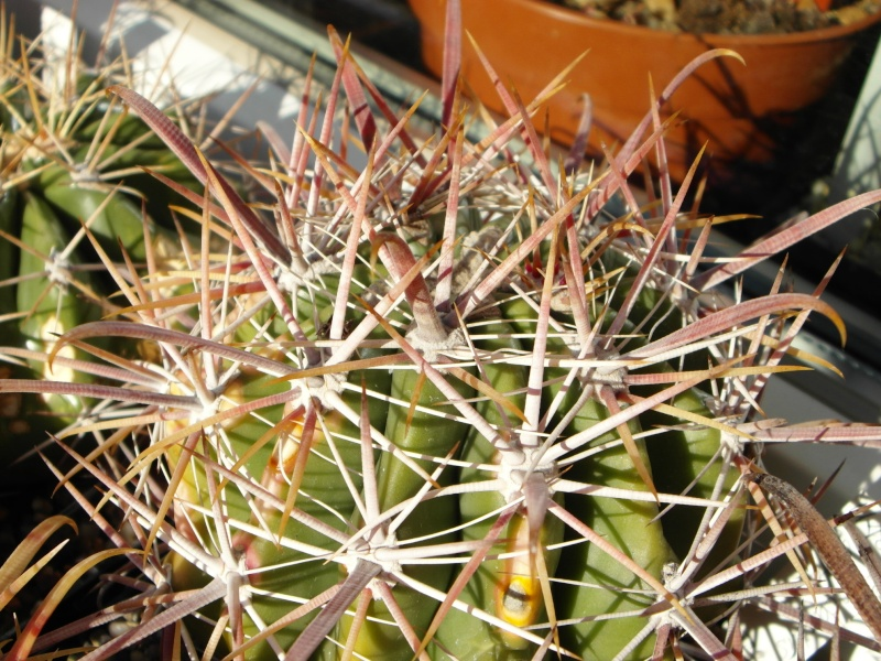 Cacti and Sukkulent in Köln, every day new flowers in the greenhouse Part 86 Bild2239
