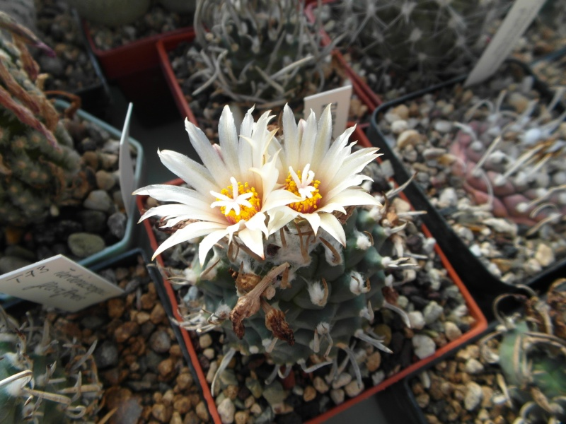 Cacti and Sukkulent in Köln, every day new flowers in the greenhouse Part 86 Bild2243