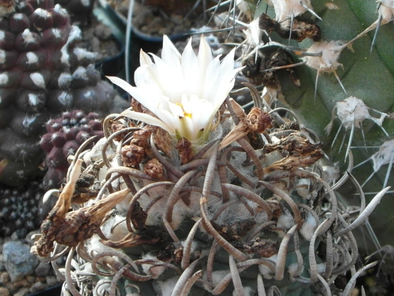 Cacti and Sukkulent in Köln, every day new flowers in the greenhouse Part 86 Bild2245