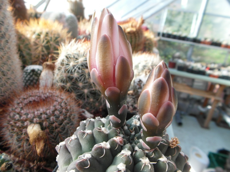 Cacti and Sukkulent in Köln, every day new flowers in the greenhouse Part 86 Bild2247