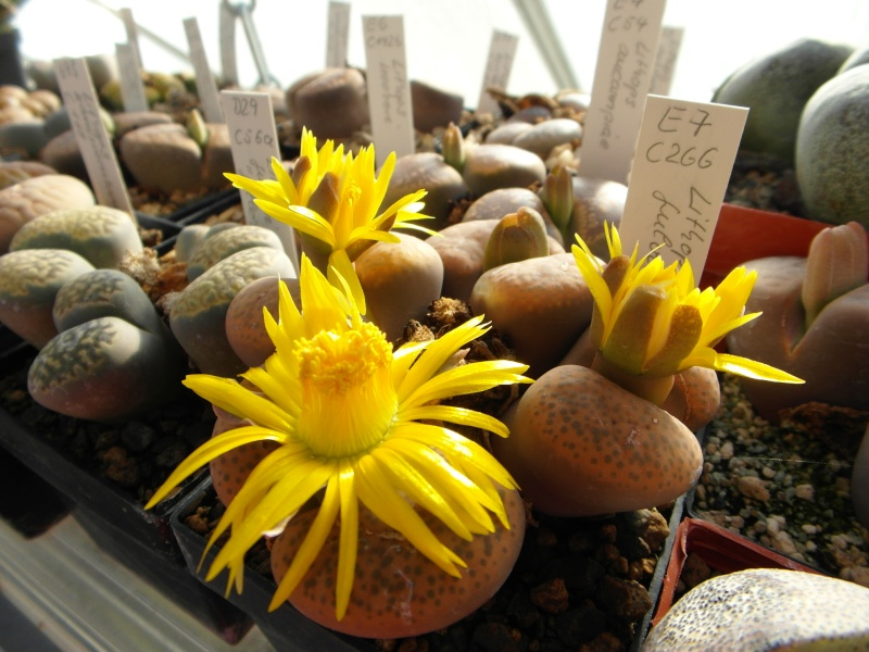 Cacti and Sukkulent in Köln, every day new flowers in the greenhouse Part 86 Bild2248