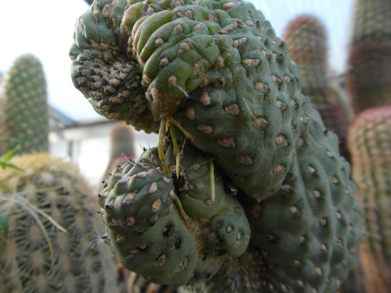Cacti and Sukkulent in Köln, every day new flowers in the greenhouse Part 86 Bild2252