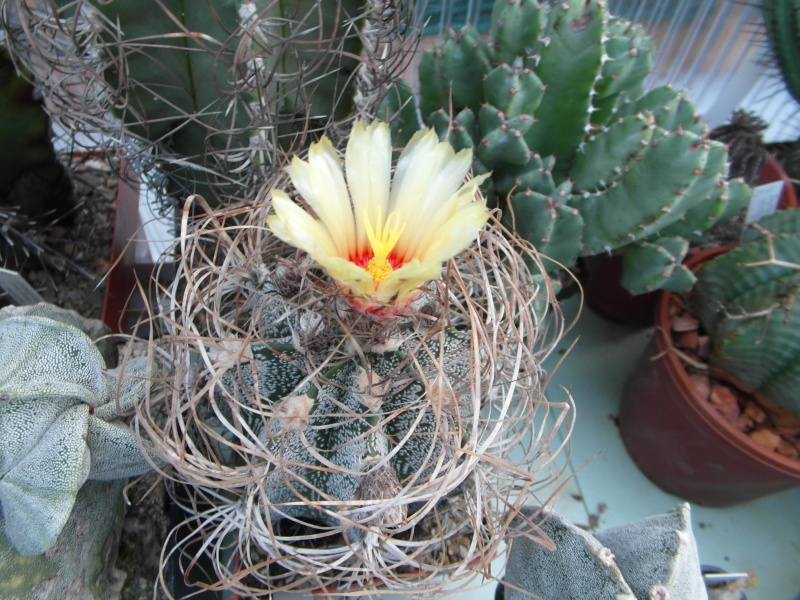 Cacti and Sukkulent in Köln, every day new flowers in the greenhouse Part 86 Bild2264