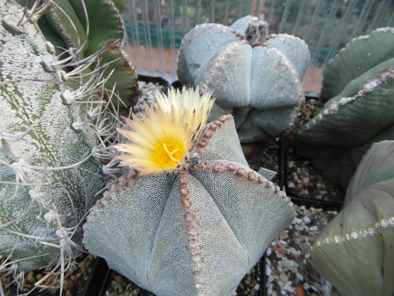 Cacti and Sukkulent in Köln, every day new flowers in the greenhouse Part 86 Bild2265