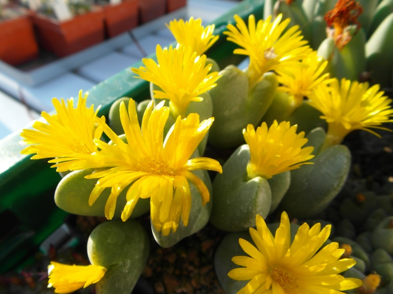 Cacti and Sukkulent in Köln, every day new flowers in the greenhouse Part 86 Bild2283
