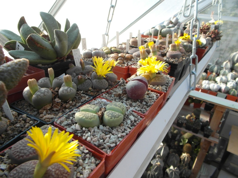Cacti and Sukkulent in Köln, every day new flowers in the greenhouse Part 86 Bild2286